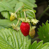 Erdbeerfrucht Stockfotografie