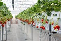 Erdbeerfrucht in der Kindertagesstättenplantage Stockfoto