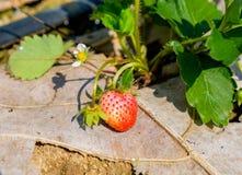 Erdbeerfruchtblume und -blatt Stockfotografie