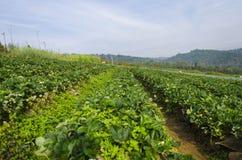 Erdbeergarten Lizenzfreies Stockfoto