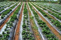 Erdbeerplantage Stockfoto