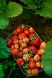 Erdbeerrote frische süße reifen Lizenzfreies Stockfoto
