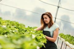 Erdbeerzüchter mit Ernte, landwirtschaftlicher Ingenieur, der herein arbeitet stockbild