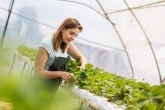 Erdbeerzüchter mit Ernte, landwirtschaftlicher Ingenieur, der herein arbeitet Stockfoto