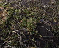 Erde ist Boden, junges Gras, Gelbgraugras Lizenzfreie Stockfotos