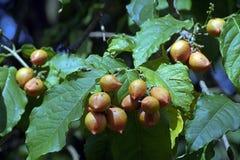 Erdnussbutterfrucht oder Bunchosia-armeniaca Lizenzfreie Stockfotos