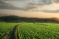 Erdnussfelder Lizenzfreies Stockfoto