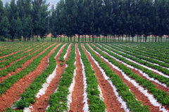 Erdnussfelder und -pappel Lizenzfreies Stockfoto