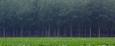 Erdnussfelder und -pappel Lizenzfreie Stockfotos
