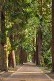 Erdweg, der in den Abstand mit Tannenbäumen zu beiden Seiten der Straße mit dem Sonnenlicht kommt durch die Bäume einsteigt stockfotografie