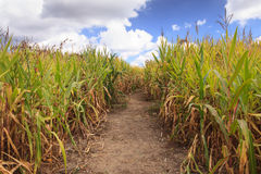 Erdweg durch ein Mais-Feld Stockfotografie