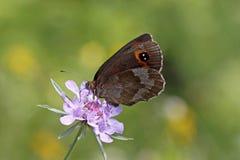 Erebia, бабочка коричневого цвета высокогорная Стоковое Изображение