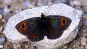 Erebia arvernensis Royalty Free Stock Images