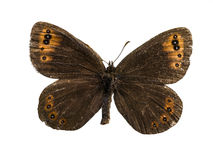 Erebia gorgone Stock Photo