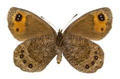 Erebia melas (Black Ringlet). Ventral view of Erebia melas (Black Ringlet) butterfly isolated on white background stock photography