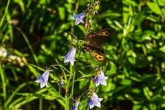 Erebia neriene Een mooie vlinder in de zomer Stock Foto's
