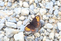 Erebia niphonica butterfly Stock Images