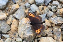 Erebia niphonica butterfly Stock Image