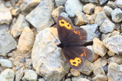 Erebia niphonica butterfly Stock Photo