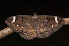 Erebus hieroglyphica moth Stock Photo