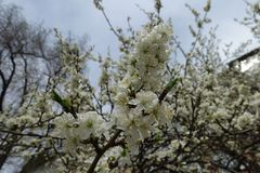 Erect branch of blossoming cherry against the sky. Erect branch of blossoming cherry against cloudy sky stock photo