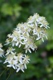 Erect clematis. White flowers - Latin name - Clematis recta royalty free stock images