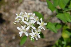 Erect clematis. White flowers - Latin name - Clematis recta royalty free stock photos