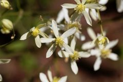 Erect clematis, Clematis recta. Flowers of a erect clematis plant, Clematis recta stock photography