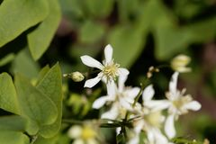 Erect clematis, Clematis recta. Flowers of a erect clematis plant, Clematis recta stock image