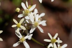 Erect clematis, Clematis recta. Flowers of a erect clematis plant, Clematis recta stock images