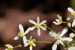 Erect clematis, Clematis recta. Flowers of a erect clematis plant, Clematis recta stock photo