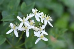 Erect clematis. White flowers - Latin name - Clematis recta stock photos