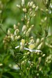 Erect clematis. White flowers - Latin name - Clematis recta stock photography