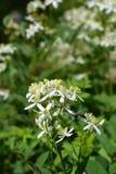 Erect clematis. White flowers - Latin name - Clematis recta stock image