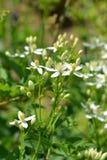 Erect clematis. White flowers - Latin name - Clematis recta royalty free stock photo