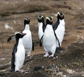Erect-crested Penguin, Eudyptes sclateri. Group of Erect-crested Penguins (Eudyptes sclateri) on the Antipodes Islands, New Zealand royalty free stock photos