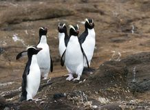 Erect-crested Penguin, Eudyptes sclateri. Group of Erect-crested Penguins (Eudyptes sclateri) on the Antipodes Islands, New Zealand stock image
