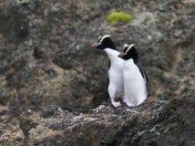 Erect-crested Penguin, Eudyptes sclateri. Pair Erect-crested Penguins (Eudyptes sclateri) on the Antipodes Islands, New Zealand stock photos