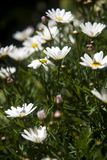 Erect daisy that stands out from the rest. In the meadow stock photo