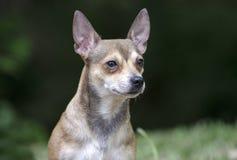 Chihuahua dog. Erect ear chihuahua puppy dog Stock Images