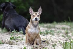Tan Chihuahua dog Royalty Free Stock Photo