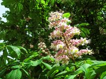 The erect panicle of horse chestnut with pink-white flowers on a background of green foliage. Natural background with beautiful lush flower of Aesculus royalty free stock photos