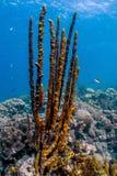 Erect Rope Sponge,Amphimedon compressa Royalty Free Stock Photo