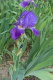 Erect stem of bearded iris with violet flower. Erect stem of bearded iris with single violet flower stock photography