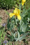 Erect stem of bearded iris with one yellow flower. Erect stem of german bearded iris with one yellow flower royalty free stock image