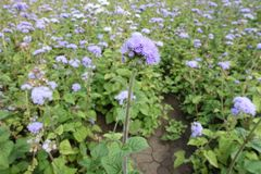 Erect stem with violet flower of Ageratum houstonianum. Erect stem with pale violet flower of Ageratum houstonianum stock images