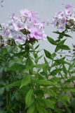 Erect stem of Phlox paniculata with green leaves and pale flowers. Erect stem of Phlox paniculata with green leaves and pale pink flowers royalty free stock images