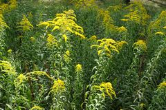 Erect stems of Solidago with yellow flowers. Erect stems of Solidago canadensis with yellow flowers royalty free stock image