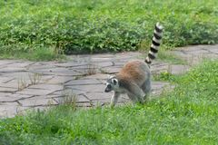 Erect a tail-tailed lemur-Lemur catta. Belonging to primate primates, with long kisses and two lateral eyes resembling fox, named for its tails. There are 5-20 Royalty Free Stock Photos