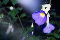 Erecta de thunbergia de fleur Photos libres de droits